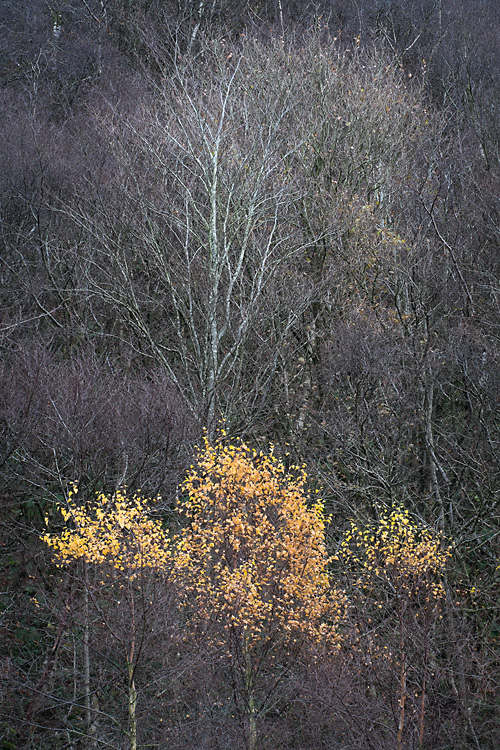 Three Young Birch Trees, Cleatop Park Wood