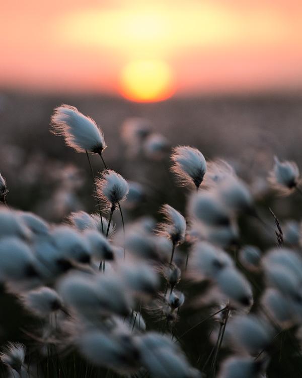 Cotton-grass Sunset 01