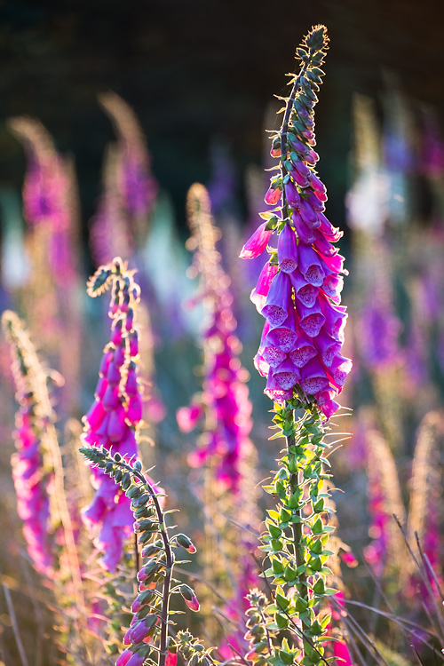 Foxgloves 06