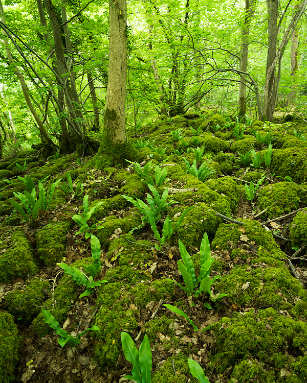 Hart's Tongue Fern, Eaves Wood