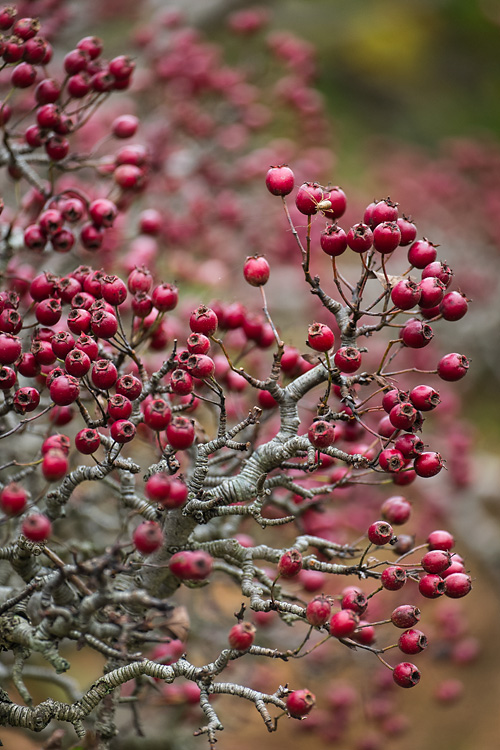 Hawthorn Berries, Oxenber