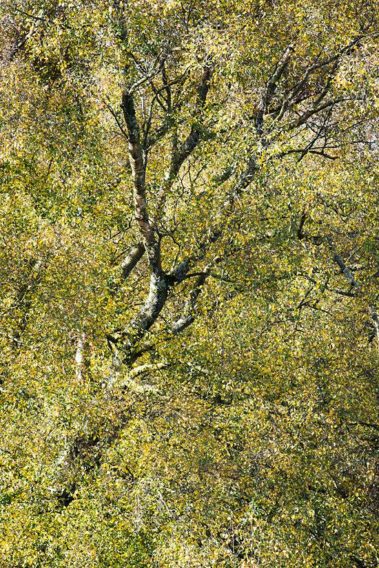 Birch, Horner Wood