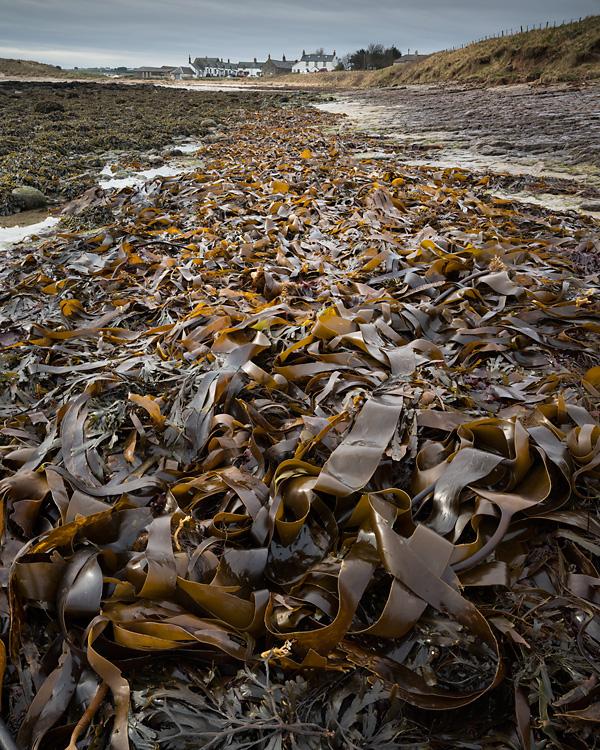 Seaweed, Low Newton