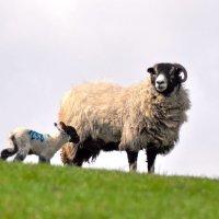 Sheep with lamb on horizon