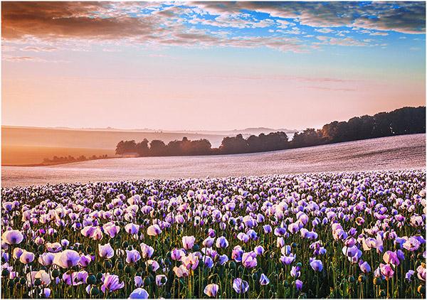 C Opium Fields