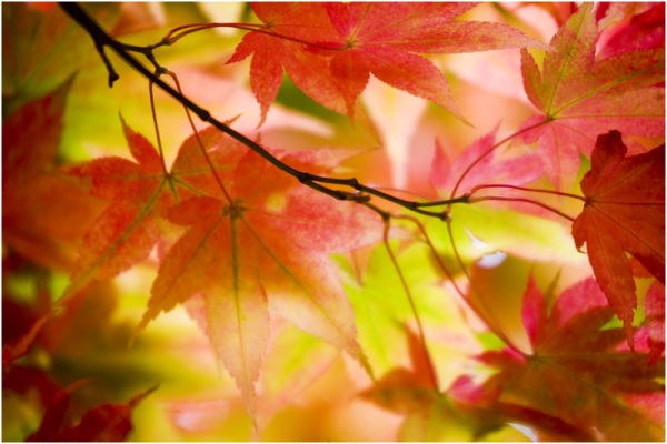 Westonbirt Leaves 17
