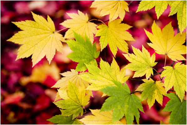 Westonbirt Leaves 4