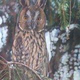 Long Earred Owl(1)