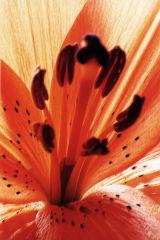 pastel lily