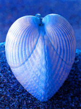 heartshell