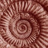 sepia ammonite