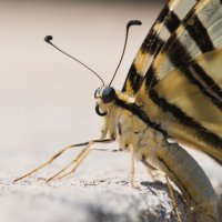 Swallow-Tail-But