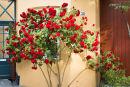 Damstredet roses