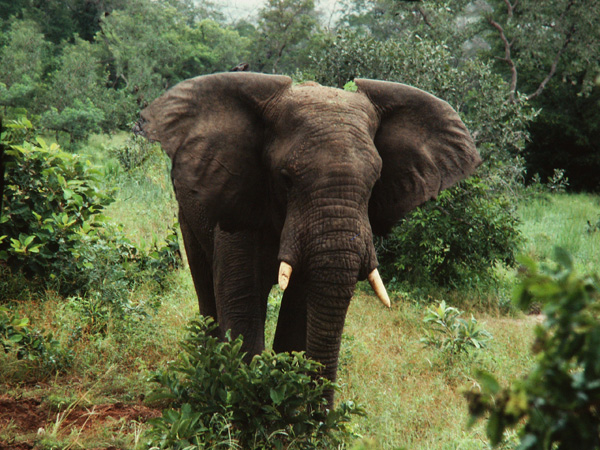 Bull Elephant at Yankari Game Reserve, Bauchi State, Nigeria