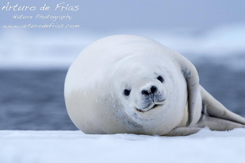 Crabeater Seal closeup