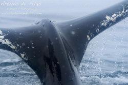 Humpback Caudal Fin