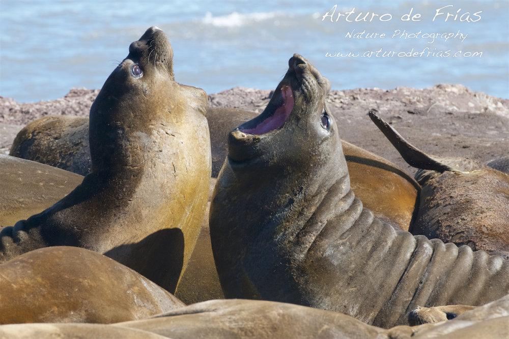 Elephant Seals Sparring