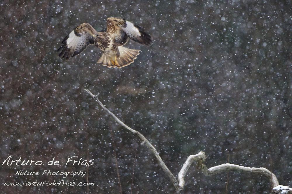 Buzzard in snowstorm