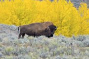 Bison and Fall Colours
