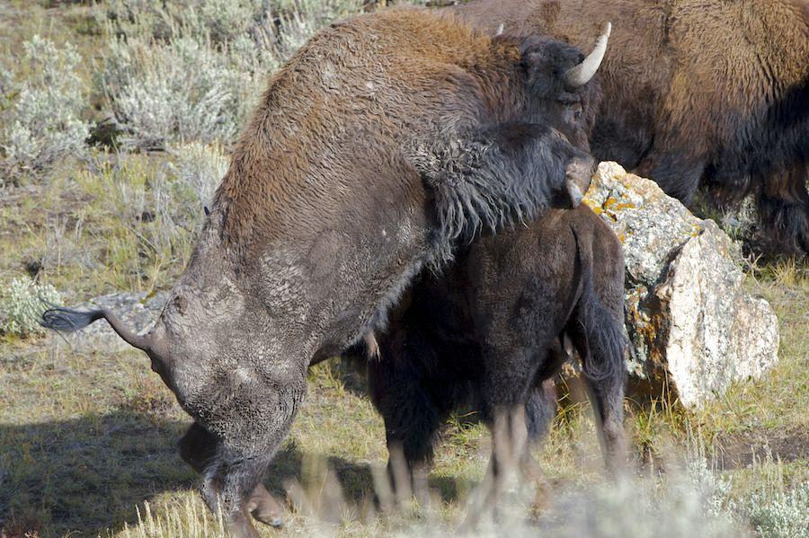 Bison Mating
