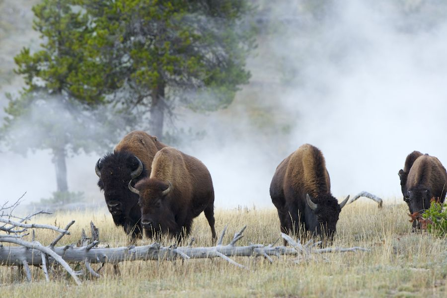 Bison and Hot Springs
