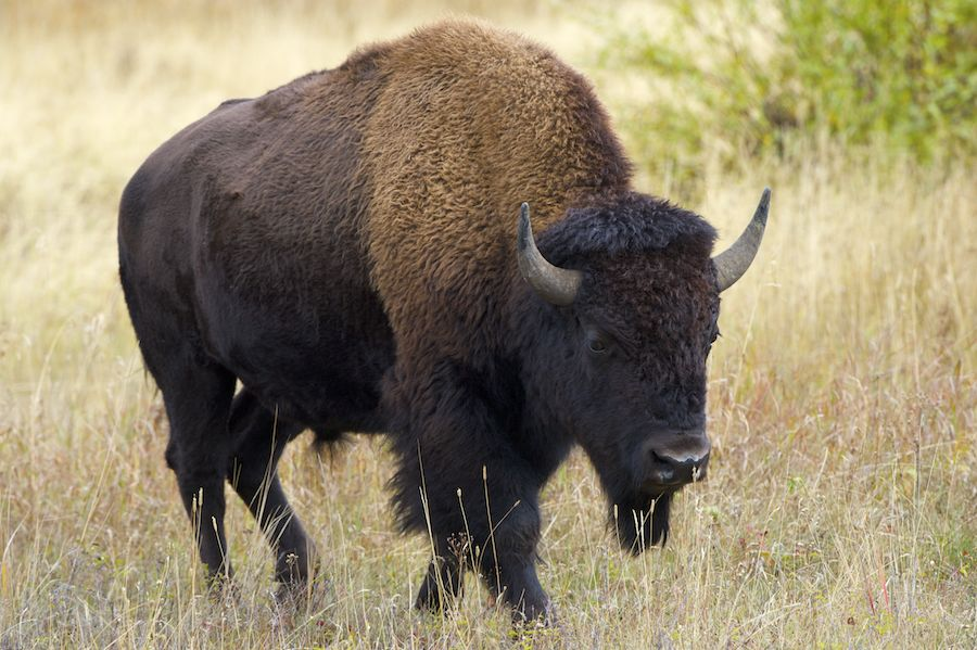 A Large Bison Male