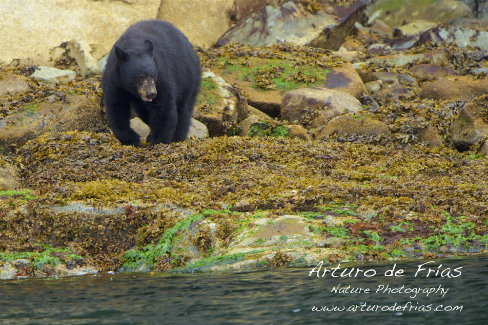 Black Bear harvesting barnacles