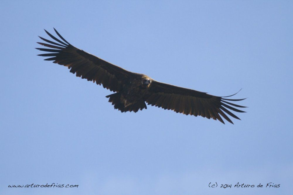 Black Vulture in Flight