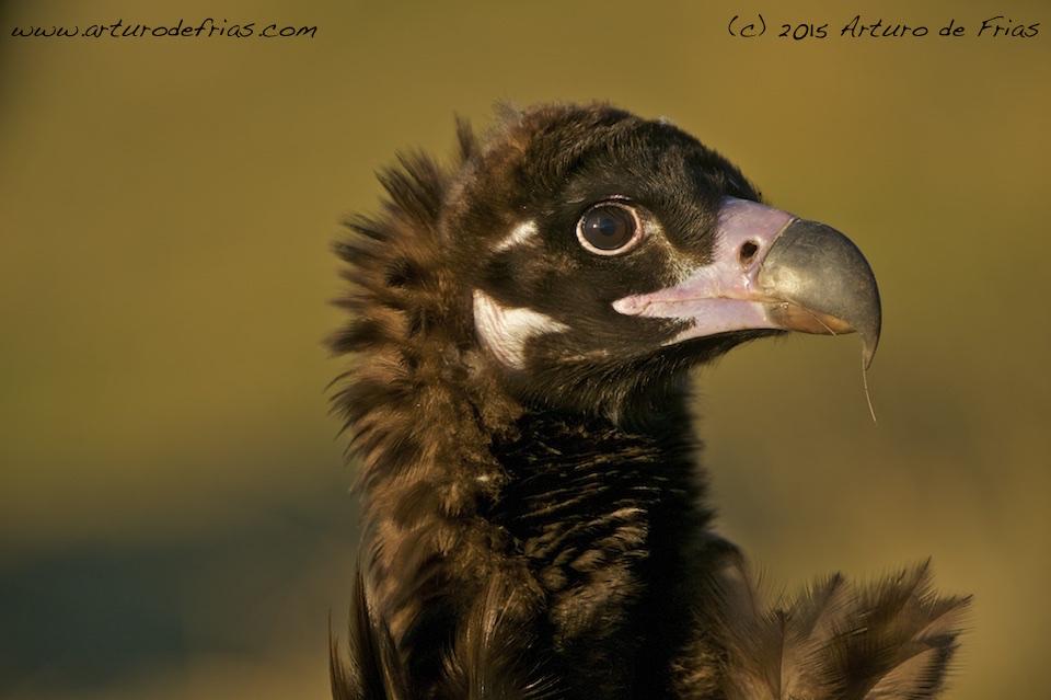 Black Vulture Closeup