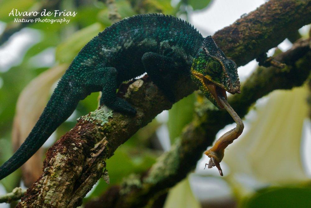 Panther Chameleon having a snack
