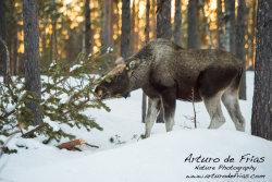 Huge Male Moose browsing on tree shoots