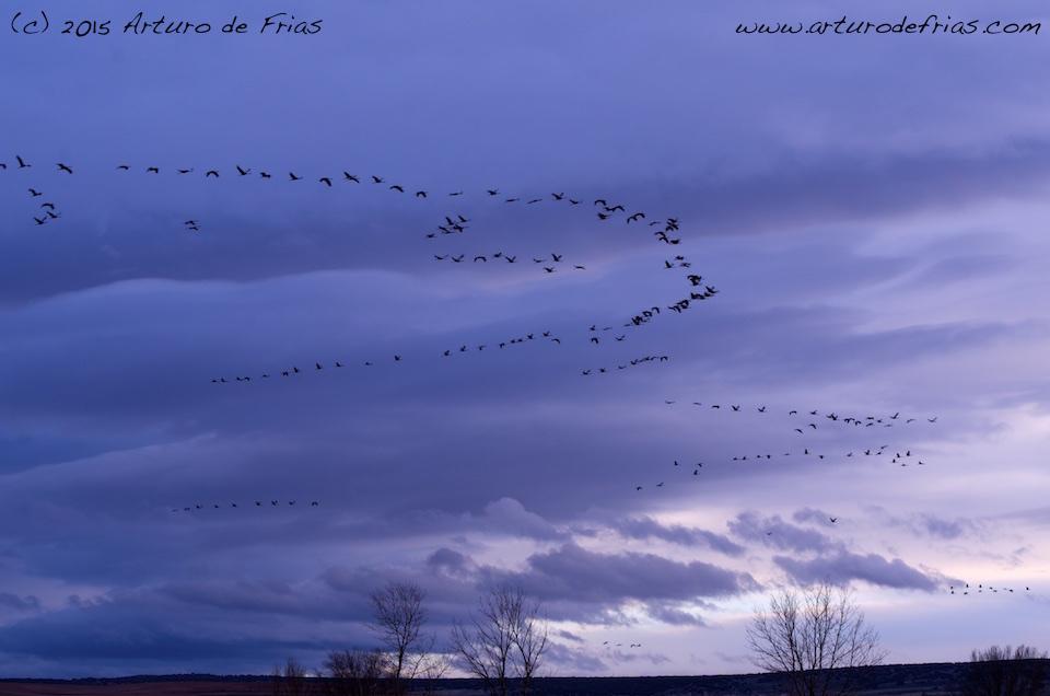 Eurasian Cranes at Sunset