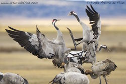 Cranes Fighting
