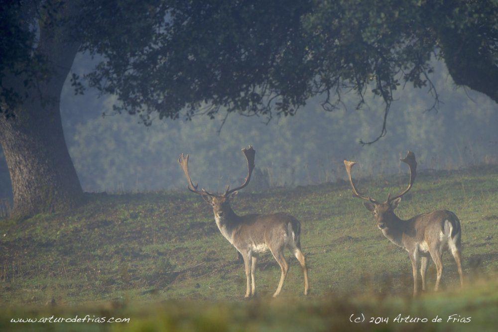 Two Fallow Deer males