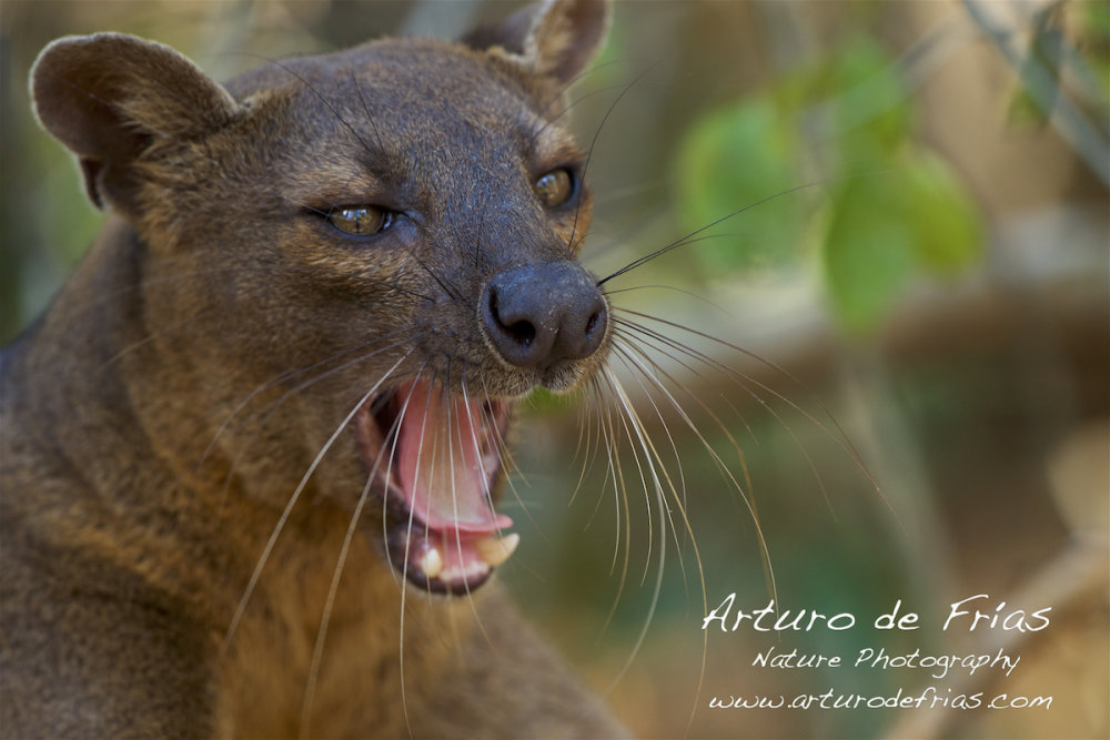 Fearsome Fossa