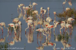 Flamingos in the 'Marisma Madre'