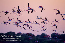 Flock of Flamingoes at Sunset
