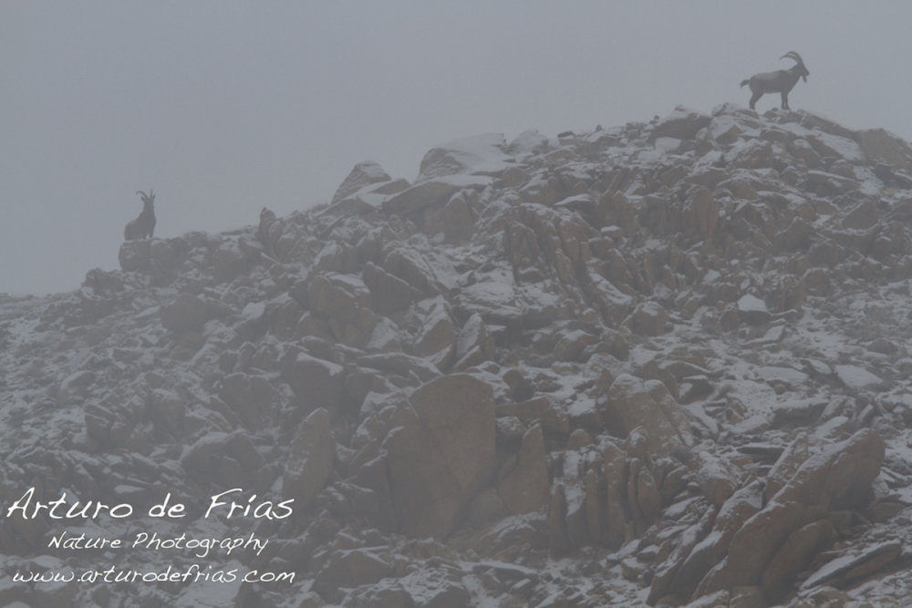 Ibex in the Mist