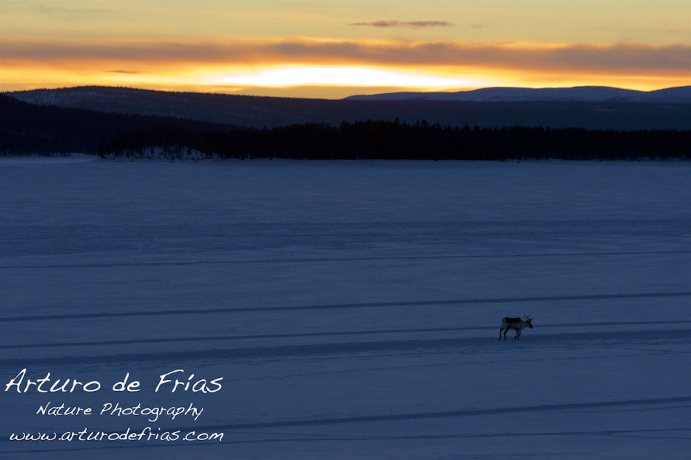 Polar Sunset and Lone Reindeer