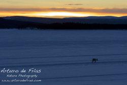 Polar Sunset and Lone Reindeer