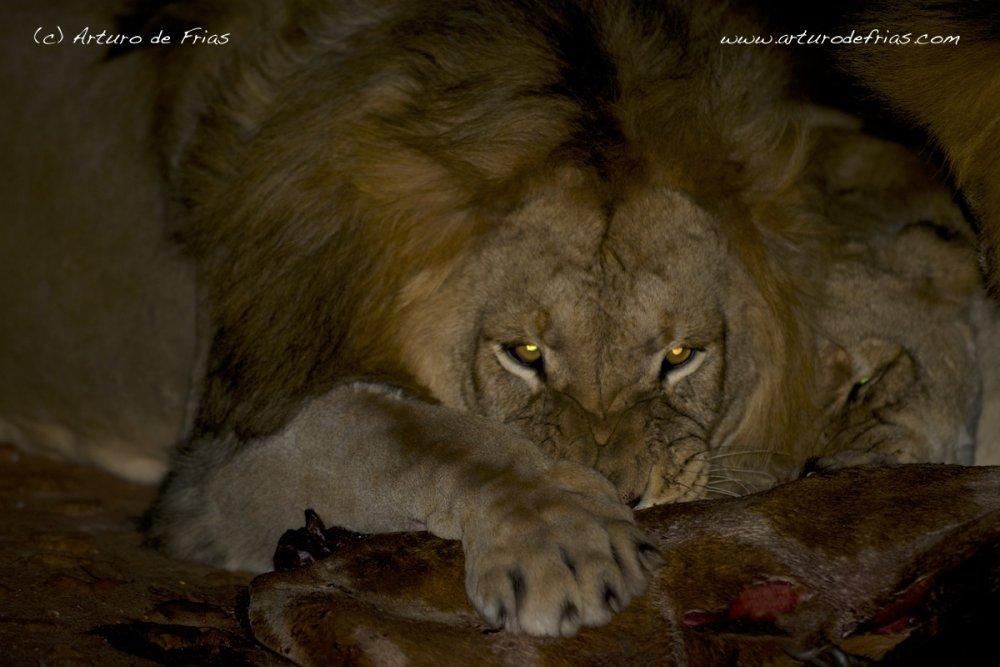 Lion feeding at night