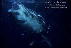Whale Shark filter-feeding