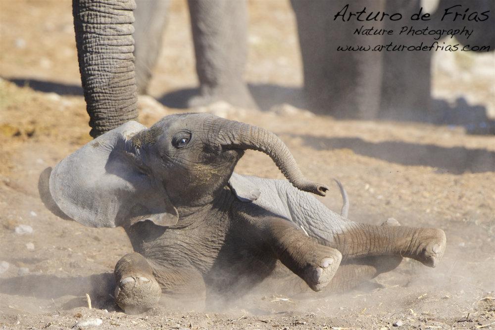 Baby Elephant Dust Bath