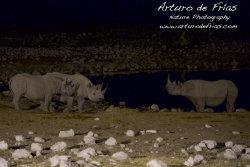 Black Rhinos socialising