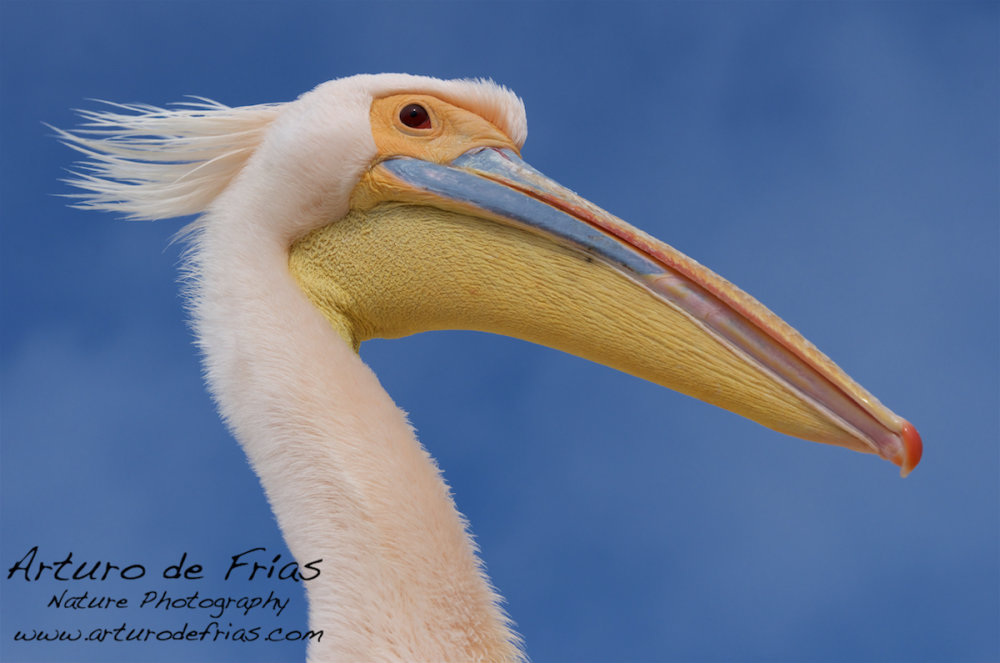 'Bad hair day' Pelican