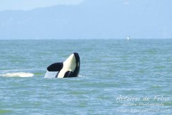 Orcas at Play III