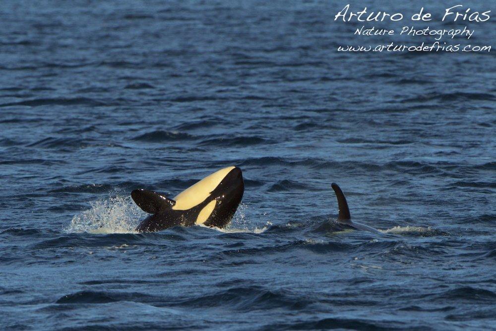 Orcas at Play I