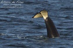 Orcas at Play II