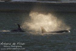 Orca Blows!