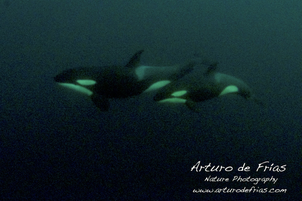Two Orcas in very low light